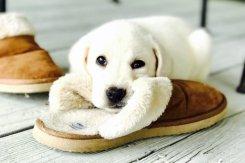 slipper pup